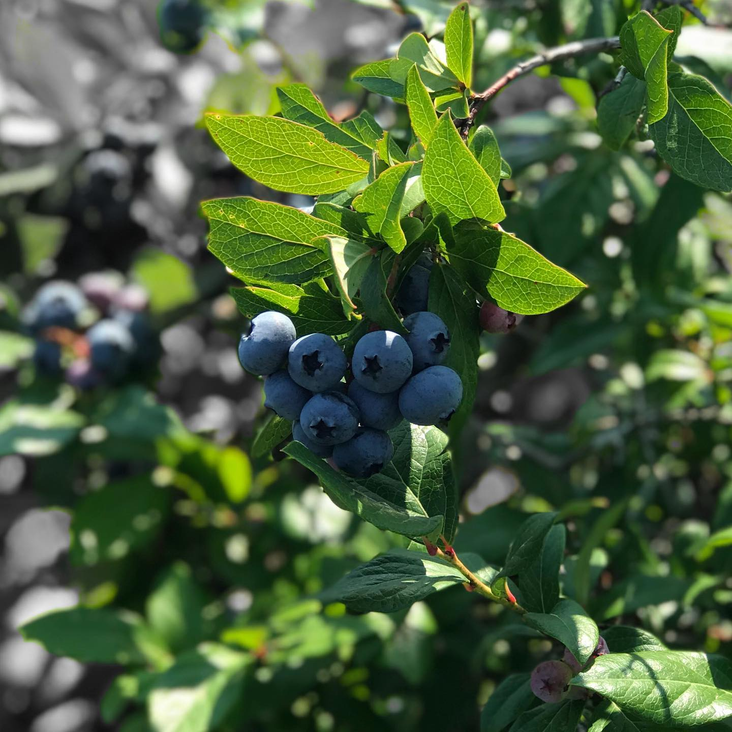Hillview Blueberry Farm